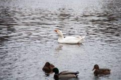 Biała domowa kaczka na bielu i gąska Zdjęcie Royalty Free