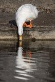 Biała domowa kaczki popijania woda z odbiciem Estetyczny nat zdjęcie stock