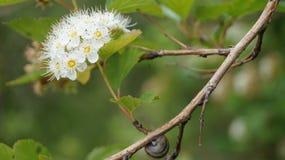 Biała Drzewna okwitnięcie gałąź Z ślimaczkiem Obraz Stock