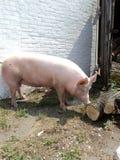 Biała duża świnia Fotografia Stock