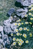 Biała dzika chryzantema w ogródzie ilustracja wektor