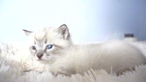 Biała figlarka z niebieskimi oczami na koc zbiory
