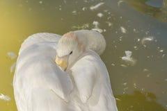 Biała gąska śpi Obrazy Royalty Free