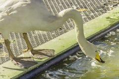 Biała gąska karmi jedzenie Zdjęcie Royalty Free