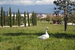 Biała gąska na gazonie w parku Fotografia Stock
