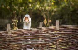 Biała gąska rozciąga swój szyję nad ogrodzeniem Zdjęcia Royalty Free