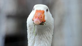 Biała gąska z usta pełno trawa zamknięta w górę zbiory wideo