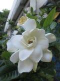 Biała gardenia w Brazylia wiośnie obraz stock