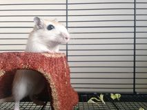 Biała Gerbillinae pozycja Fotografia Stock