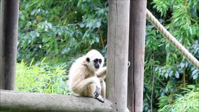 Biała gibon małpa zbiory
