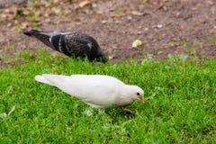 Biała Gołębia pozycja na Zielonej trawie Zdjęcie Royalty Free