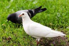 Biała Gołębia pozycja na Zielonej trawie Zdjęcia Royalty Free