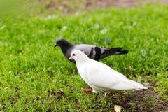 Biała Gołębia pozycja na Zielonej trawie Fotografia Royalty Free