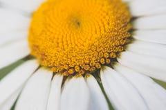 Biała i żółta stokrotka Obraz Stock