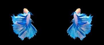 Biała i błękitna siamese bój ryba, betta ryba odizolowywająca na bla Obrazy Royalty Free