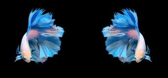 Biała i błękitna siamese bój ryba, betta ryba odizolowywająca na bla Fotografia Royalty Free