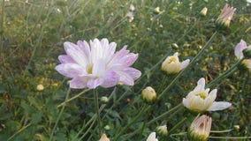 Biała i fiołkowa chryzantema Zdjęcie Royalty Free