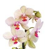 Biała i fiołkowa orchidea Obrazy Stock