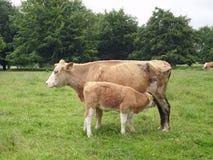 Biała i jasnobrązowa krowa z łydką obrazy royalty free