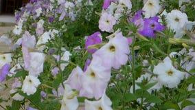 Biała i purpurowa petunia zdjęcie wideo