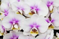 Biała i różowa orchidea Fotografia Stock