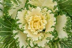 Biała i Zielona jesień Sedum Fotografia Stock