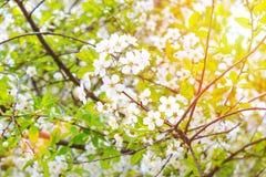 Biała jabłoń lub wiśnia kwitniemy w wiośnie Fotografia Stock