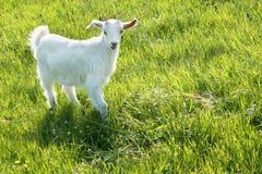 Biała kózka na zielonej trawie w wiośnie Zdjęcie Stock