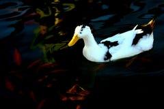 Biała kaczka (anatidae) Obrazy Stock