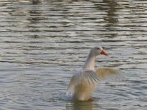 Biała kaczka na jeziorze fotografia stock