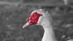 Biała kaczka z czerwonym grzebieniem, czarny i biały fotografia obrazy stock
