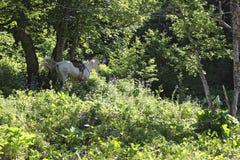 Biała końska jazda w zielonym lesie Obrazy Stock