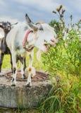 Biała koźlia łasowanie trawa Zdjęcia Stock