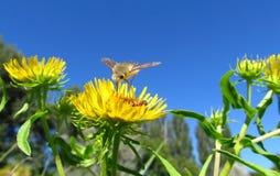 Biała komarnica siedzi na żółtym kwiacie Zdjęcie Royalty Free