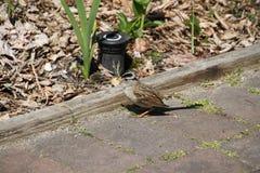 Biała koronowana wróblia pozycja na brukowych kamieniach zdjęcia stock