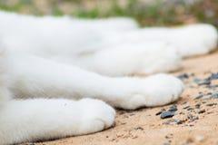Biała kot łapa, kot stopa Obraz Stock