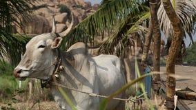 Biała krowa na smycz pozyci przy polem zbiory wideo