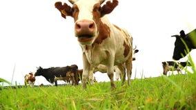 Biała krowa patrzeje kamerę, widok spod spodu zdjęcie wideo