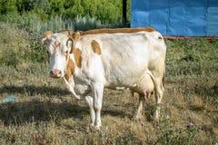 Biała krowa z czerwonymi punktami Obraz Royalty Free