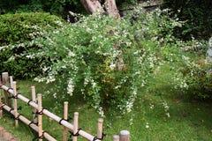Biała krzak koniczyna fotografia stock