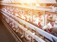 Biała kurczak produkcja i jajko produkcja, przemysł spożywczy, słońce, ptaka dom obraz royalty free