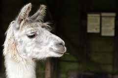 Biała lama żuć kij zdjęcia royalty free