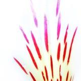 Biała leluja Fotografia Stock