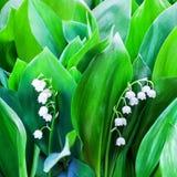 Biała leluja dolina kwiaty na zieleni liście zamazującym tle zamkniętym w górę, może leluja kwiat makro-, Convallaria majalis w k zdjęcia royalty free