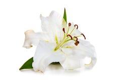 Biała leluja i biedronka odizolowywający Fotografia Royalty Free