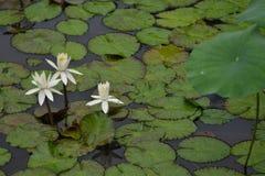 Biała leluja Lotus z zielonym liściem zdjęcia stock