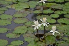 Biała leluja Lotus z zielonym liściem zdjęcie royalty free