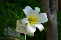 Biała leluja przed drzewnym bagażnikiem Fotografia Stock