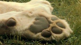 Biała lew łapa zbiory wideo