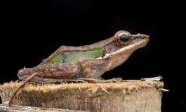 Biała lipped żaba obraz stock